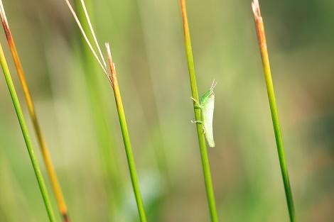 コガネイナゴ(幼虫)
