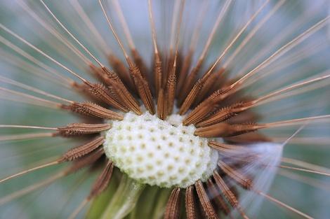 タンポポの種
